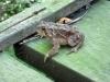40-bruce-trail-toad-jpg