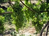 41-bruce-trail-grapes-jpg