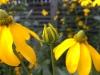 14-yellow-petals-jpg