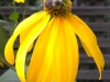 15-yellow-petals-bee-jpg