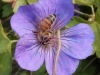 17-purple-flower-bee-jpg
