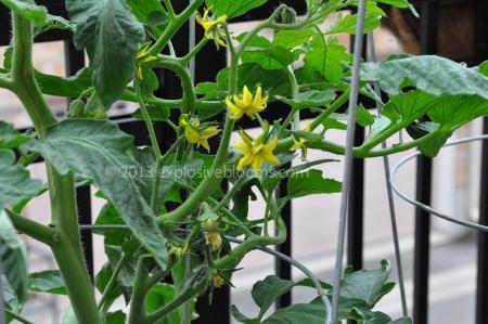Flowering, not on vines
