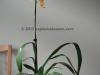 Wilsonara Tiger Brew 'Pacific Holiday' Oncidium orchid