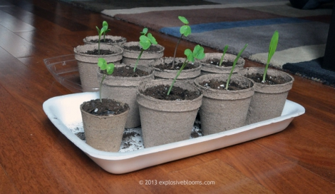 Trio Transplants - Click to enlarge