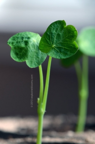 Nasturtium 03/28 - Click to enlarge
