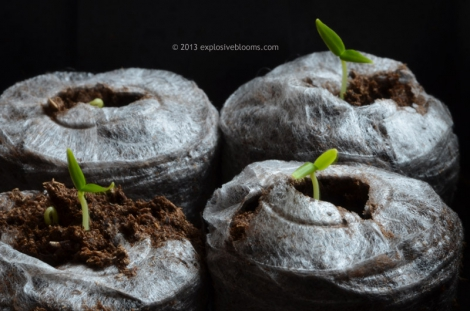 Chilli set 03/28 - Click to enlarge