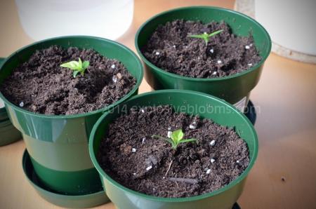 13-trinidad-pepper-april-16