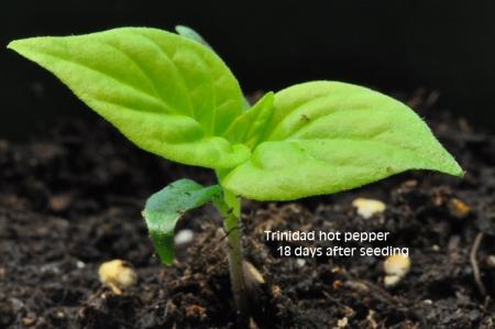18-trinidad-pepper-april-23