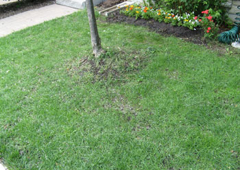 Lawn after 3 weeks of using Scott's Patchmaster