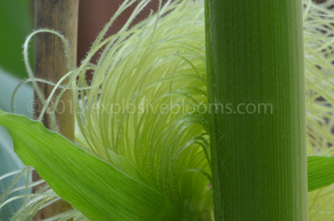 Tassels up close. Fine, silky and soft
