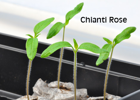 05-chianti-rose-april-3
