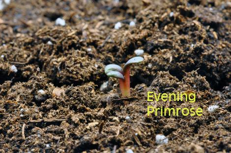 08-evening-primrose-april-3