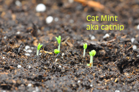 09-catnip-march-30