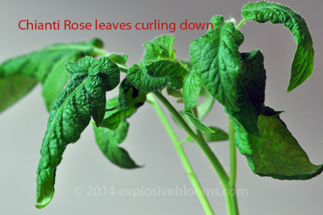 22-chianti-rose-leaf-curl-may-8