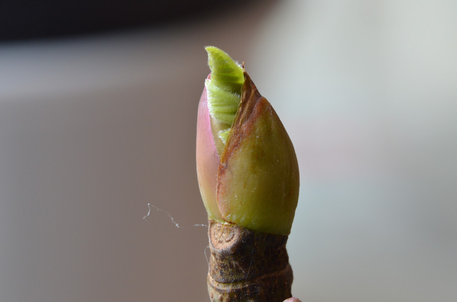 0321_desert-king-budding