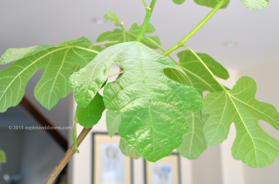 Why are your leaves turning white? House Plant Leaves Turning White on fern leaves, giant plants with leaves, orchid leaves, venus flytrap leaves, house vine leaves, tree leaves, flower leaves, plants with red leaves, identifying plants by their leaves, apple leaves, wildflower leaves, poisonous plants leaves, house plan leaves,