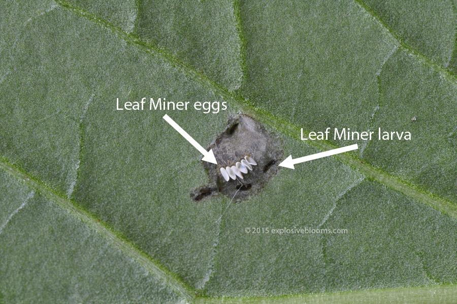 leaf-miner-eggs