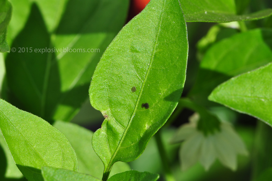leaf-spot-2