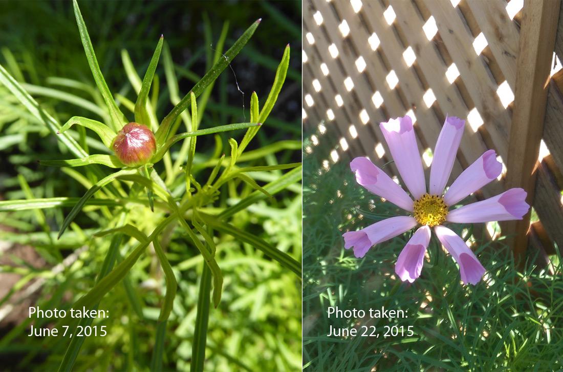 09-cosmo-bud-flower