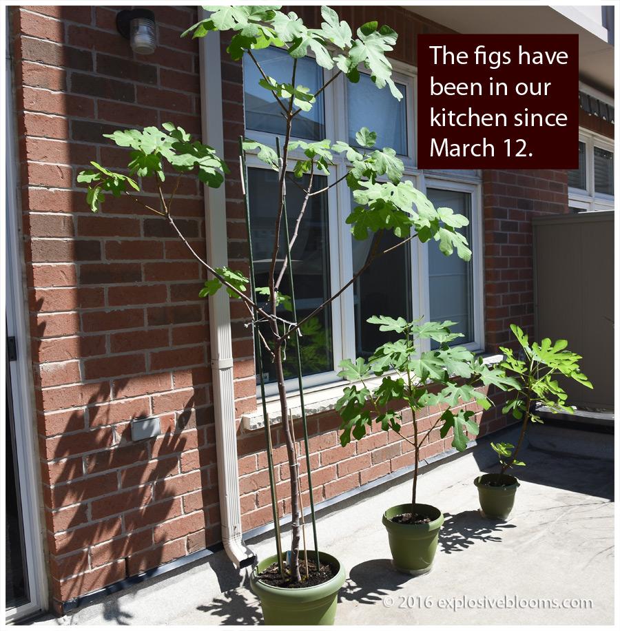 figs-sunning