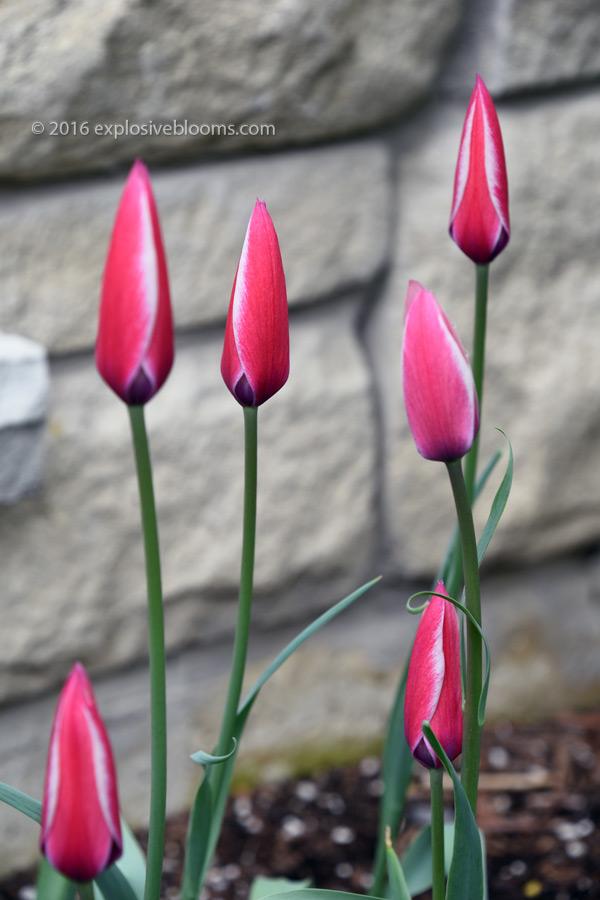 dainty-tulips