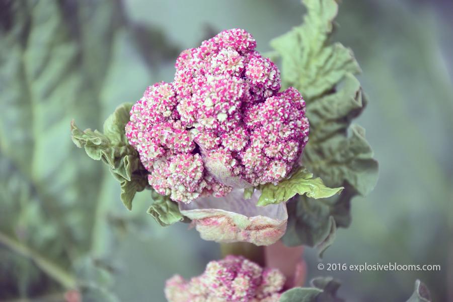 rhubarb-flower-0514