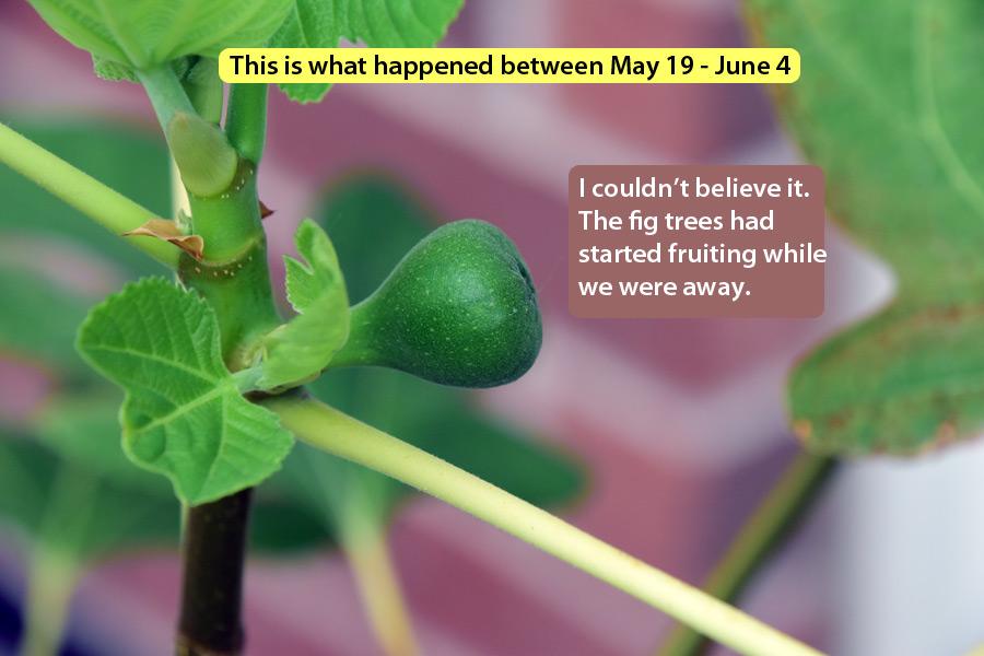 figs-june-4