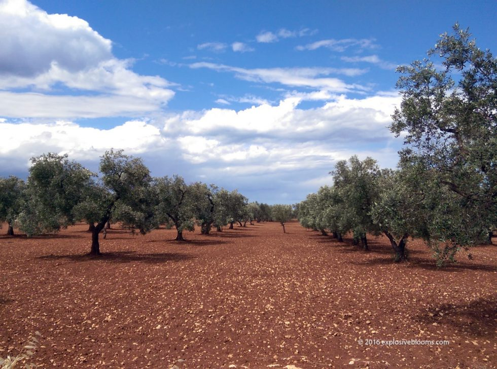 olive-grove-feature