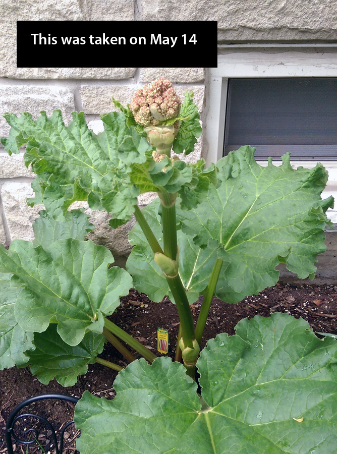 rhubarb-may-14