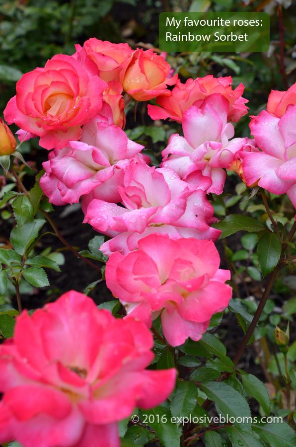 RTG Rainbow Sorbet rose