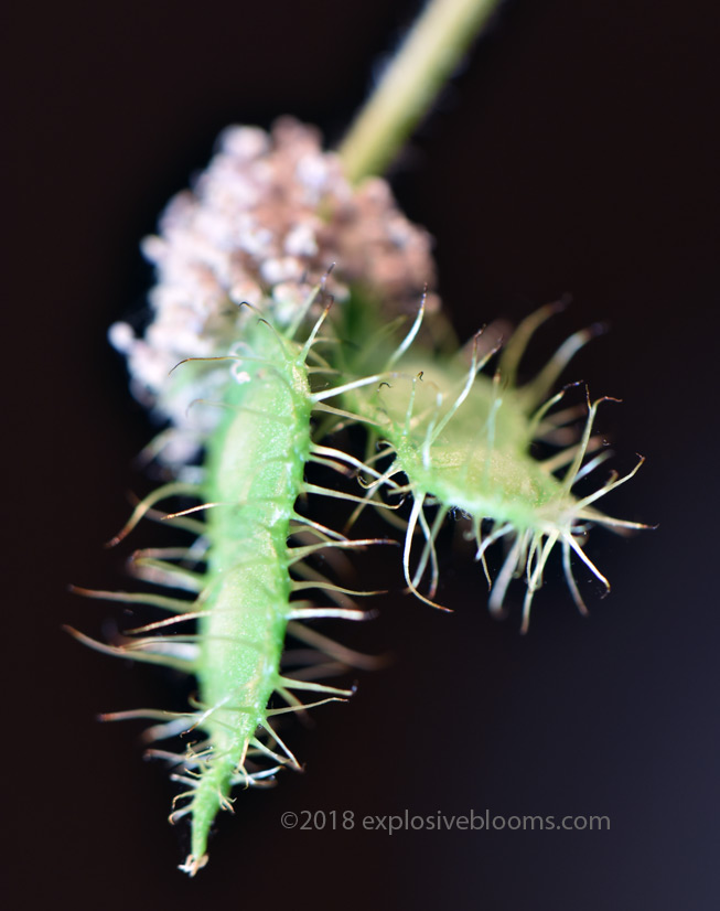 Mimosa Pudica seed pod
