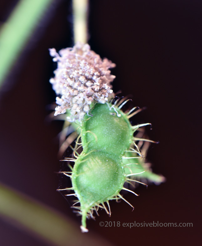 Ah, that's what a mimosa pudica seed pod looks like!